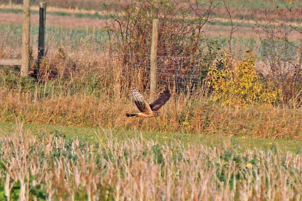 Nach dem kleinen Happen geht die Jagd weiter am 01.11.11 Foto: Gregor Zosel