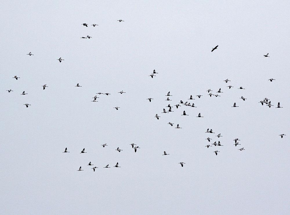 Kraniche kreisen nordwestlich der Hemmerder Wiesen über Lenningsen, 12.02.11 Foto: Bernhard Glüer