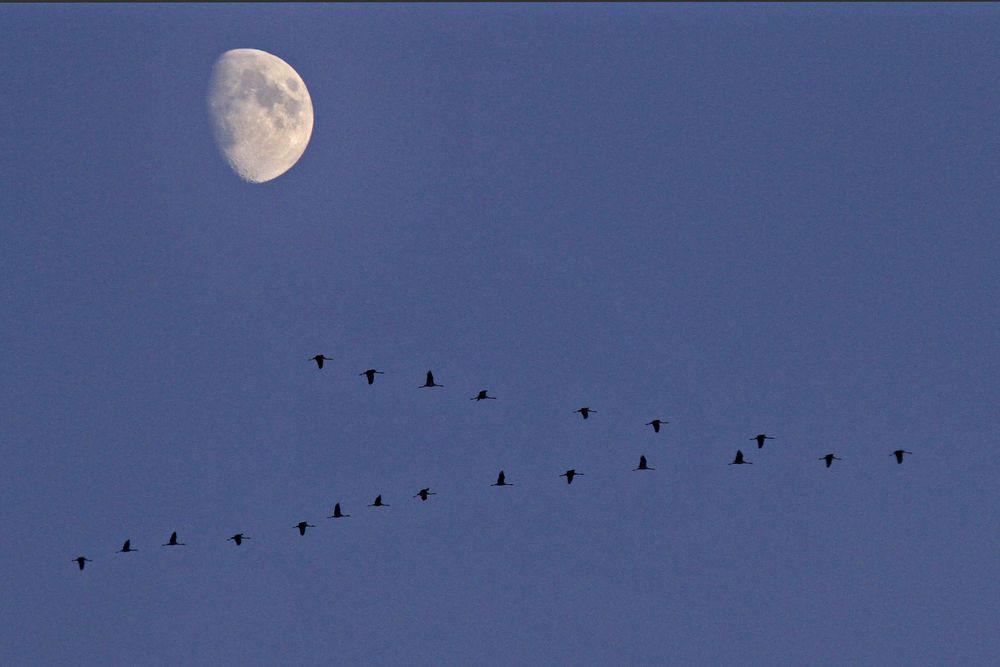 Der Mond sieht den ziehenden Kranichen zu....am 05.11.11 Foto: Gregor Zosel