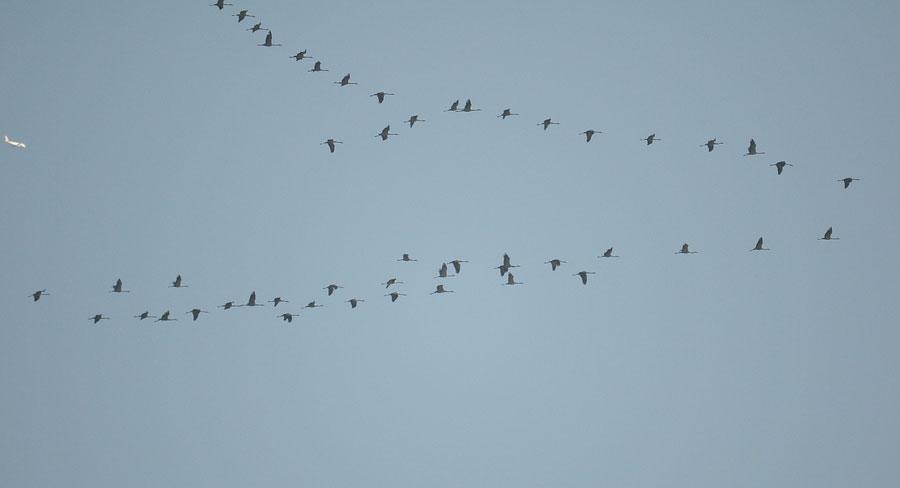 Kranich-Flug und Konkurrenz am 21.11.2011 Foto: Andreas Nickel