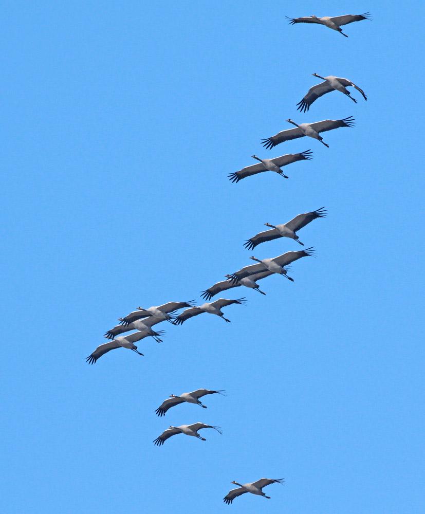 Immer wieder schön anzusehen - die `Vögel des Glücks´..., 12.11.2011 Foto: Bernhard Glüer