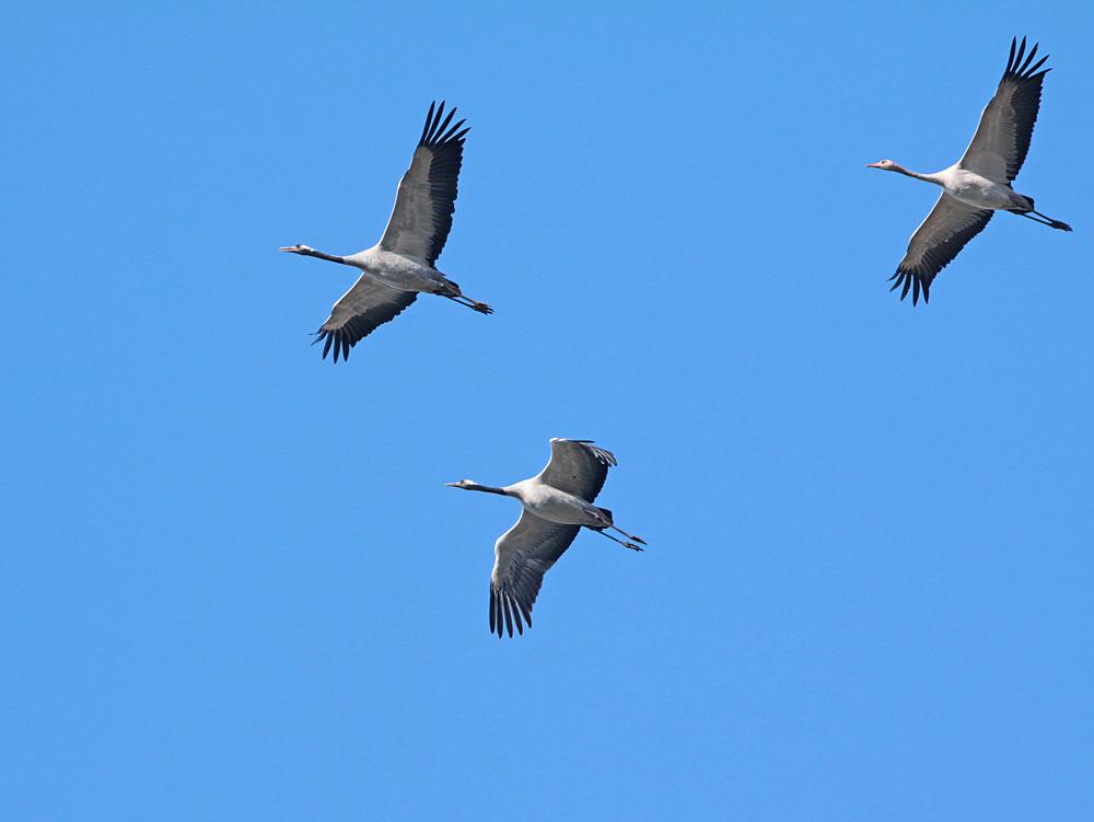 ...Kleingruppen im Schwarm bleiben immer zusammen - hier ist es vielleicht eine Familie: zwei Altvögel mit einem Jungvogel, 12.11.2011 Foto: Bernhard Glüer
