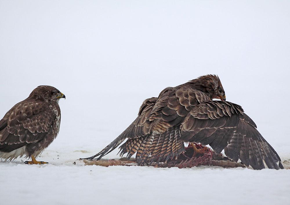 Schlange stehen am Hasenkadaver... 01.01.11 Foto: Bernhard Glüer