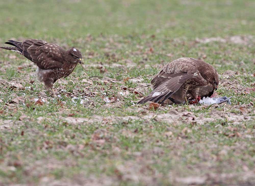 Mäusebussarde streiten......, 23.02.11 Foto: Bernhard Glüer