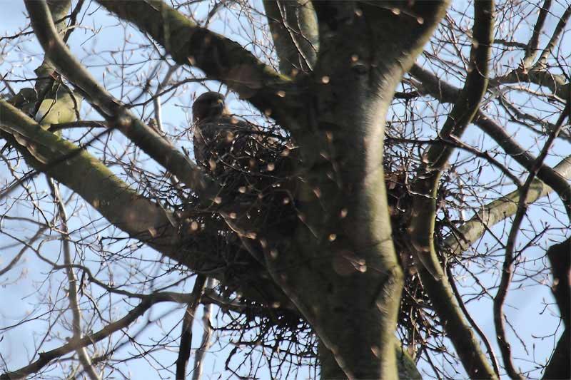 Mäusebussardhorst mit Altvogel im Kurpark Unna am 29.03.2011 Foto: Hermann Knüwer