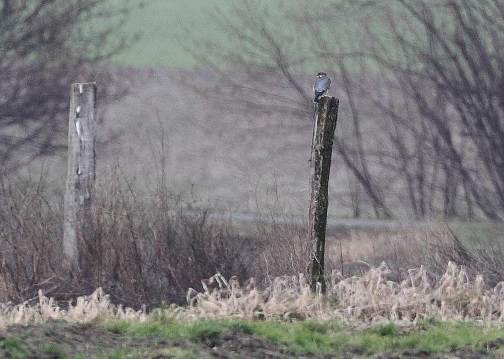 Etwas unscharf - in großer Ferne - ein adulter Merlin (m) / Hemmerder Ostfeld, 26.02.11 Foto: Bernhard Glüer