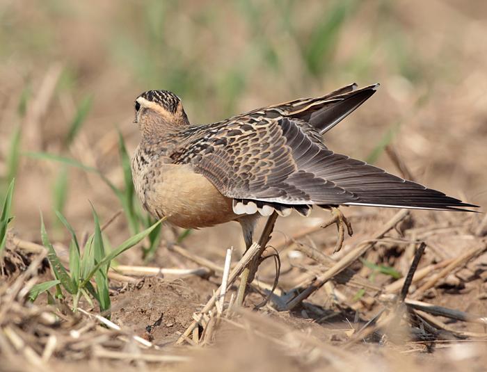Der Jungvogel zeigt auch, was er hat..., 25.08.2011, Foto: Bernhard Glüer