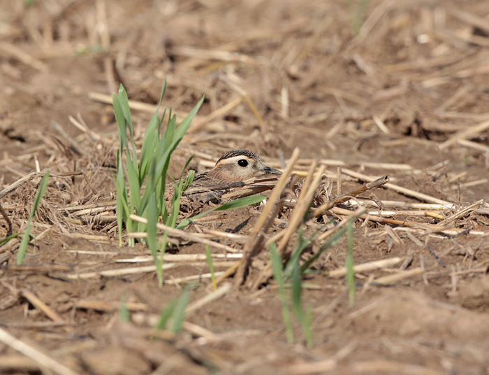 Bei Gefahr, aber auch zur Entspannung ducken sich die Mornellregenpfeifer auf den Boden und sind fast unsichtbar, 25.08.2011, Foto: Bernhard Glüer