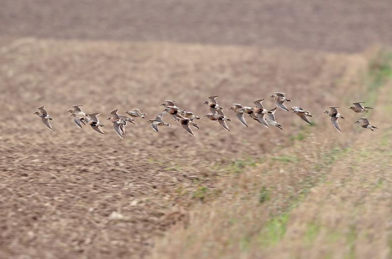 Jede Flucht kostet Energie, die ein Zugvogel für seine lange Reise noch dringend braucht, 29.08.2011, Foto: Bernhard Glüer