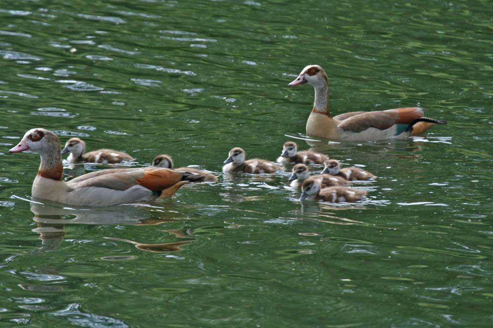 Nilgansfamilie im Hammer Wasserwerk am 13.06.11 Foto: Gregor Zosel