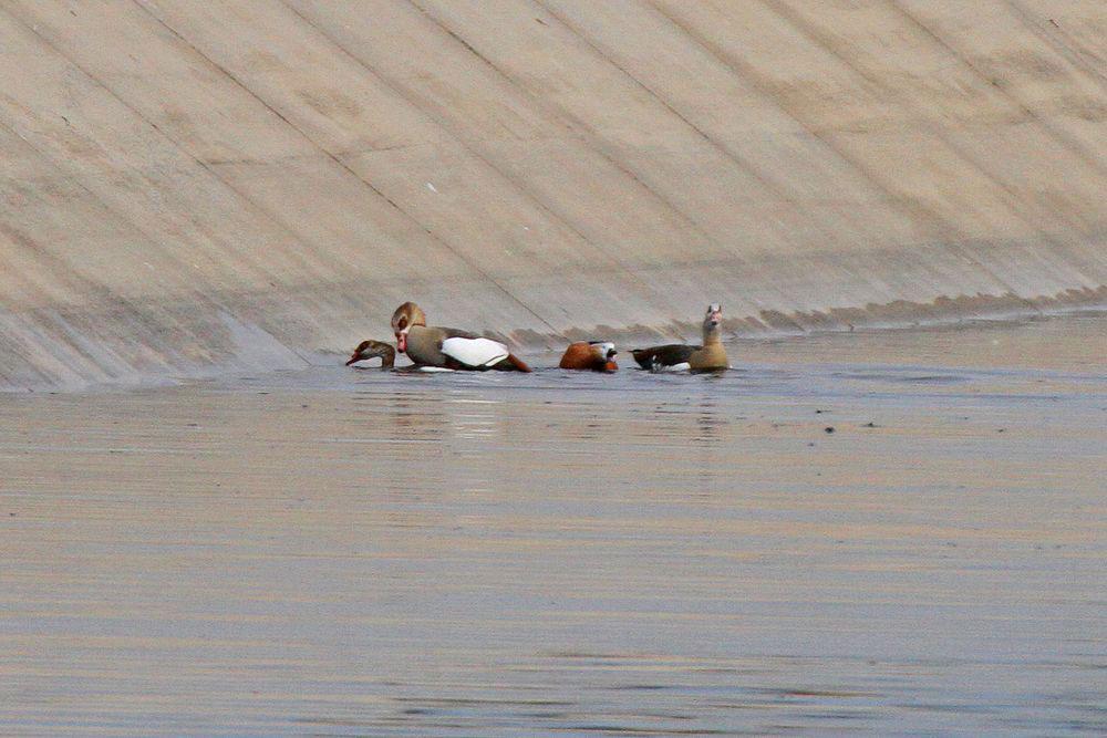 Milde Temperaturen haben Frühlingsgefühle bei den Nilgänsen geweckt.Nilganspaarung im Hammer Wasserwerk am 19.11.11 Foto: Gregor Zosel