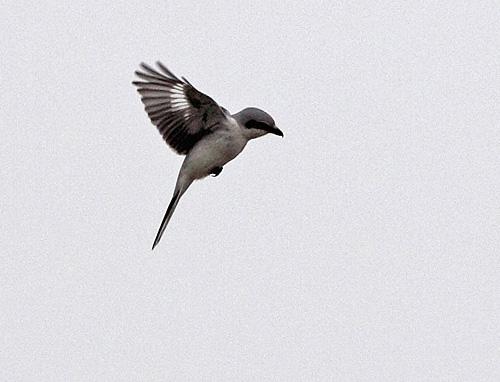 Der Rüttelflug verschafft zwar einen guten Überblick . . ., 19.02.2011 Foto: Bernhard Glüer