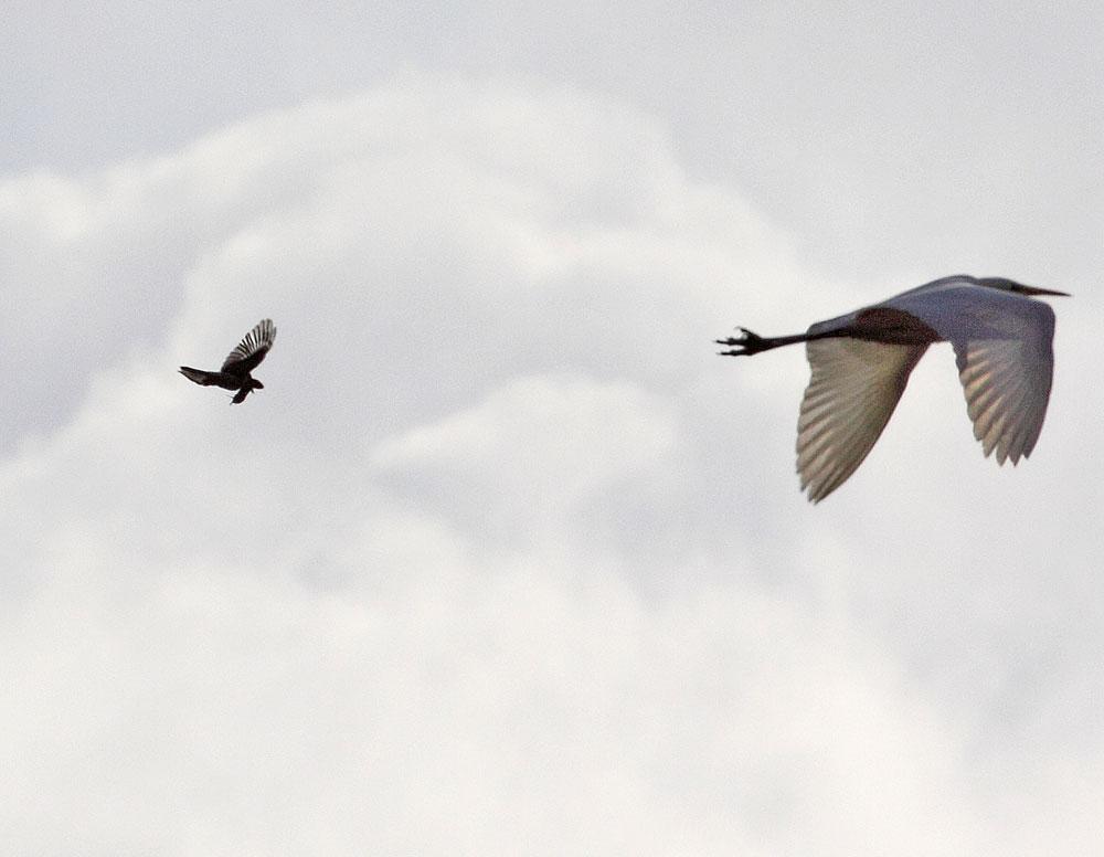 Nicht schön - aber selten: während des Fokussierens auf den Raubwürger mit gefangener Maus fliegt ein Silberreiher durchs Bild, 25.01.11 Foto: Bernhard Glüer