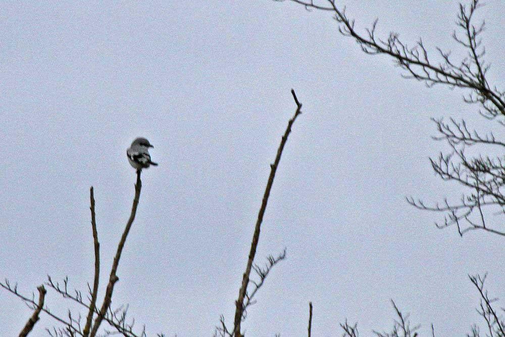 Auch dem Raubwürger macht bei diesem nasskalten und stürmischen Wetter der Ansitz keinen Spaß....am 04.12.11 Foto: Gregor Zosel
