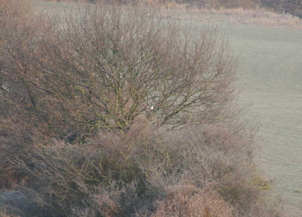 Raubwürger im NSG Lippeaue zwischen Werne und Heil am 29.01.2011 Belegfoto: Klaus Ashoff