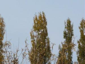 Raubwürger in den Rieselfeldern Werne am 31.11.2011 Foto: K.Nowack