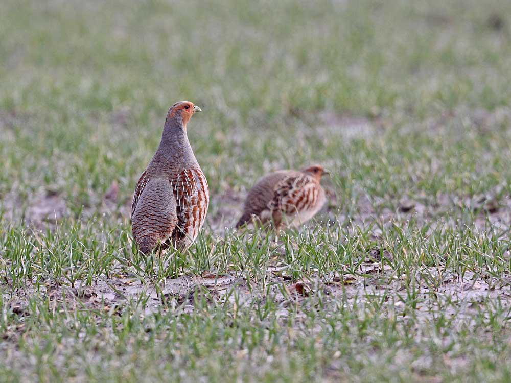 Rebhuhnpaar bei Bönen-Bramey, 14.02.11 Foto: Bernhard Glüer