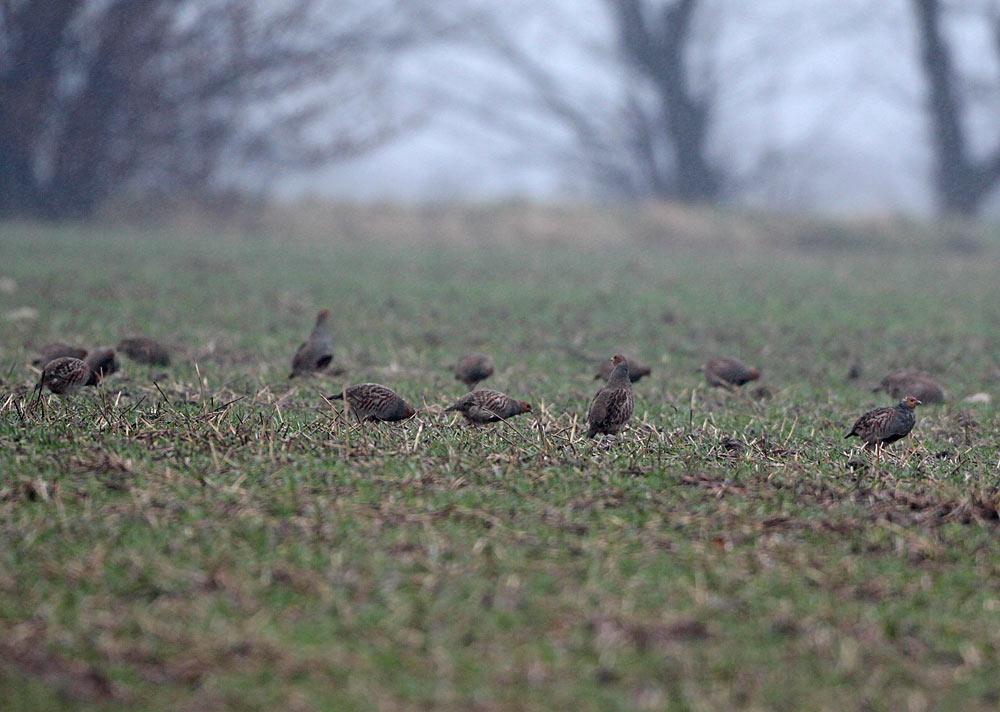 Zwei Rebhuhnketten bei Ostbüren, deren jeweilige `Clan-Führer´ sich aufmerksam beäugen..., 23.12.2011 Foto: Bernhard Glüer