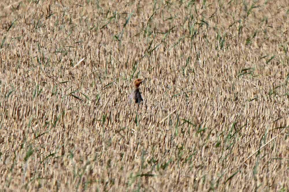 Ein Rebhuhn wagt einen Blick aus den weiten Stoppelfeldern am 05.09.11 Foto: Gregor Zosel