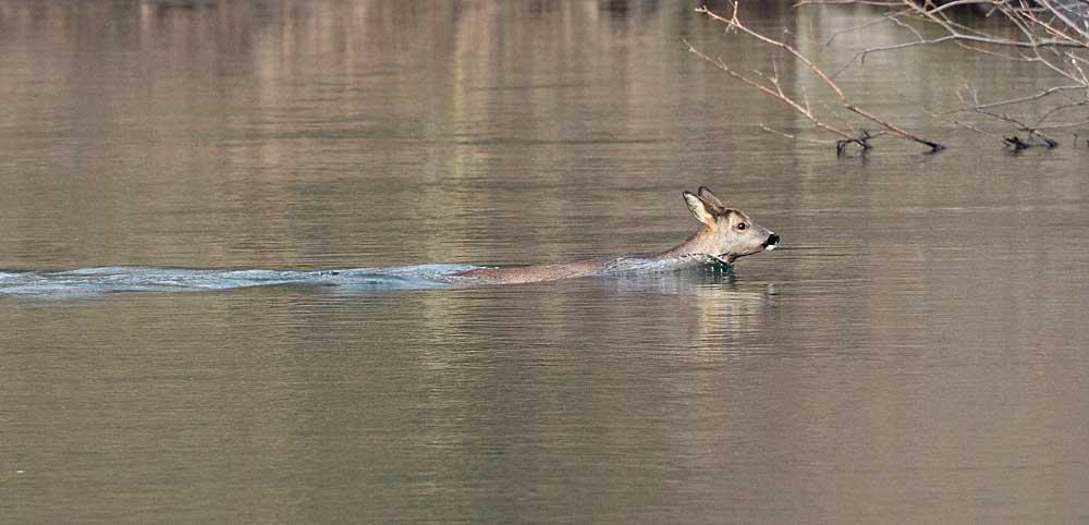 Reh durchschwimmt die Ruhr...  20.02.11 Foto: Bernhard Glüer