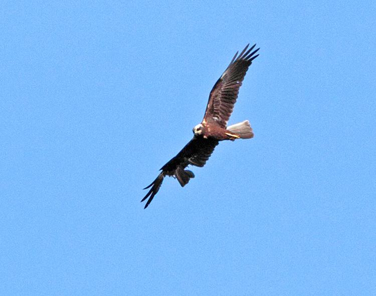 ...und dürfte wohl auch bei der Jagd größte Schwierigkeiten und damit nur geringe Überlebenschancen haben, 24.09.2011, Foto: Bernhard Glüer