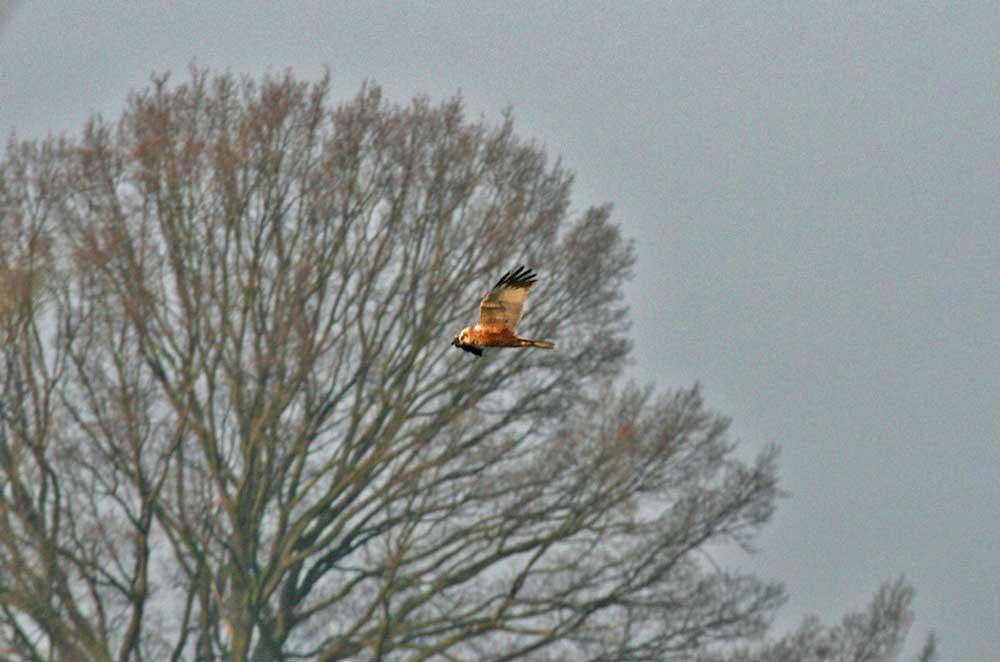 Rohrweihe über dem NSG Hemmerder Wiesen am 30.03.2011 Foto: Gregor Zosel