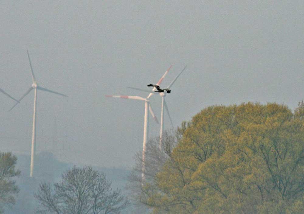 Rohrweihe über dem NSG Hemmerder Wiesen am 30.03.2011, im Hintergrund der Windpark von Ostbüren Foto: Gregor Zosel