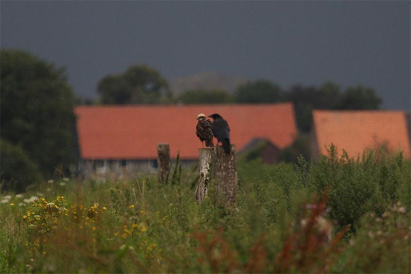 Friedliche Koexistenz; Rabenkrähe und Rohrweihe im Hemmerder Ostfeld, 26.08.2011 Foto: Hermann Knüwer