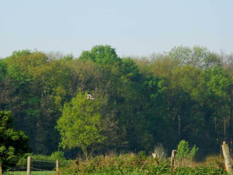 Adulte männliche Rohrweihe an der Funne bei Werne, 25.04.2011 Foto: K. Nowack