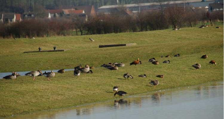 Rostgänse bei Fröndenberg-Altendorf am 13.02.2011 Foto: Karl Heinz Beck