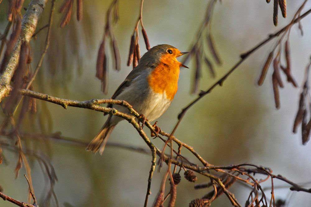 Heute wieder überall singende Rotkehlchen.....am 06.11.11 Foto: Gregor Zosel