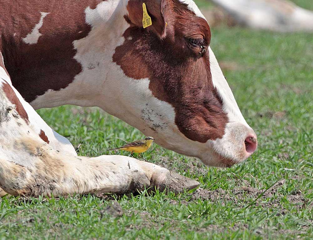 In trauter Eintracht mit dem Vieh..., 21.04.2011 Foto: Bernhard Glüer