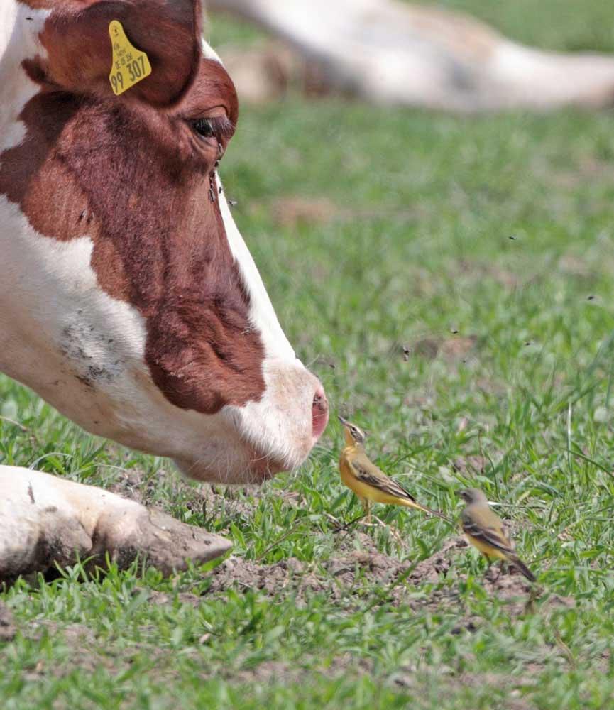 ... zu beiderseitigem Nutzen: Schafstelzen bei Steinen, 21.04.2011 Foto: Bernhard Glüer