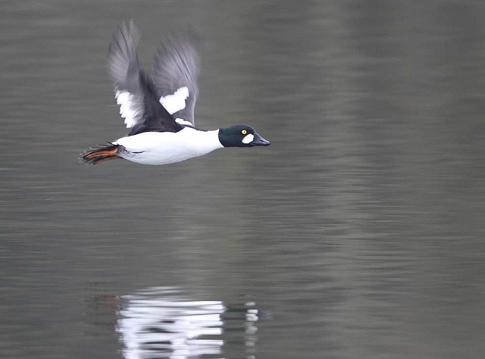 Abfliegender Schellerpel, 19.02.2011 Foto: Bernhard Glüer