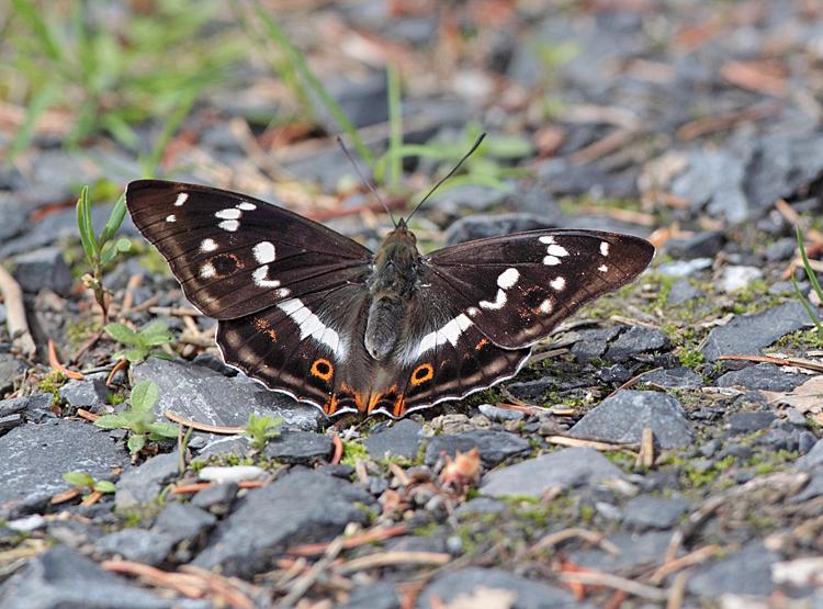 ... bescheinigt durch sein Vorkommen einem Wald Naturnähe, denn seine Raupen ernähren sich von `Forstunkräutern´ wie Espen oder Salweiden..., 13.06.2011, Foto: Bernhard Glüer