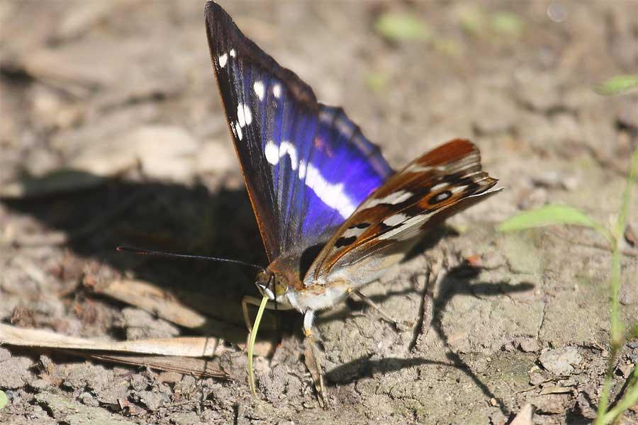 Großer Schillerfalter (Apatura iris, Männchen) am 3.06.2011 Foto: Hermann Knüwer