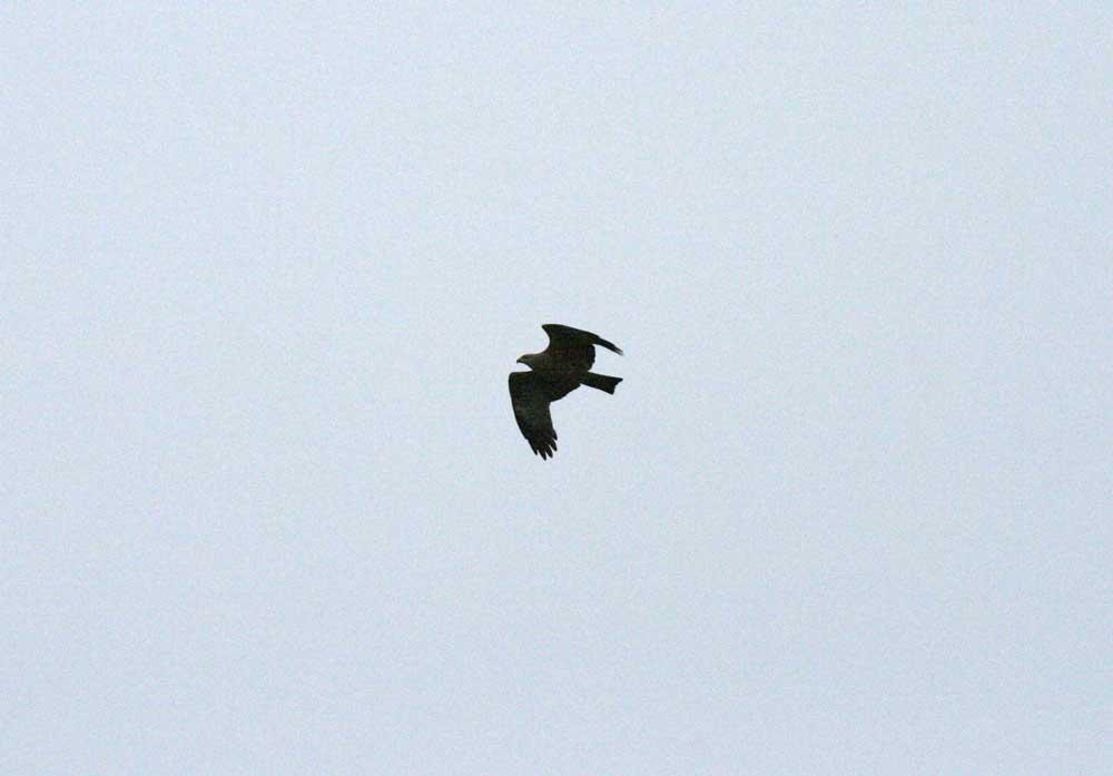 Schwarzmilan überfliegt die Kiebitzwiese in Südrichtung am 06.04.2011 Foto: Gregor Zosel