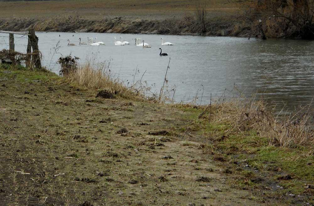 Schwarzschwan auf der Lippe im NSG Lippeaue zwischen Stockum und Werne am 02.02.2011 Foto: KlauN Werne