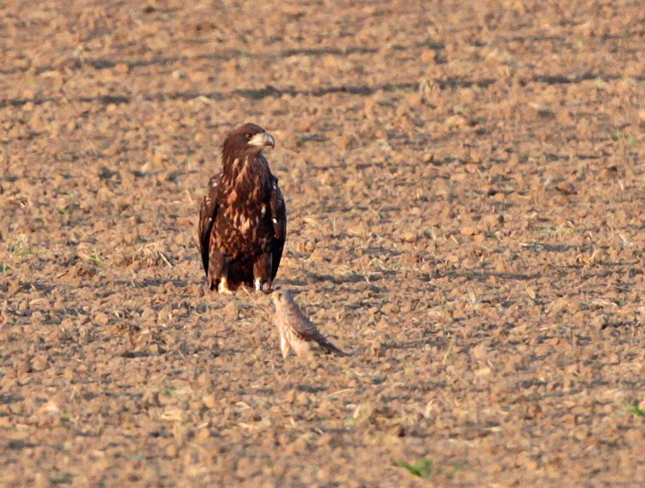 Auch der Turmfalke staunte nicht schlecht und schien den Adler mit `albernen Faxen´ wie Herumflattern und Hüpfen aus der Reserve locken zu wollen, 25.09.2011, Foto: Bernhard Glüer
