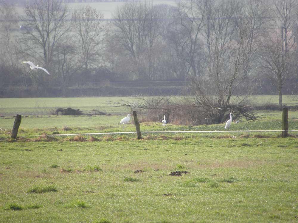 Silberreiher bei Unna-Hemmerde, 15.02.11 Foto: Armin Langer