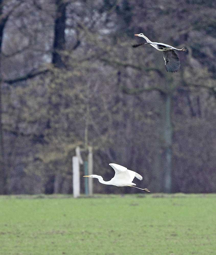 ...beide fliegen schließlich gemeinsam weiter, 06.02.11 Foto: Bernhard Glüer