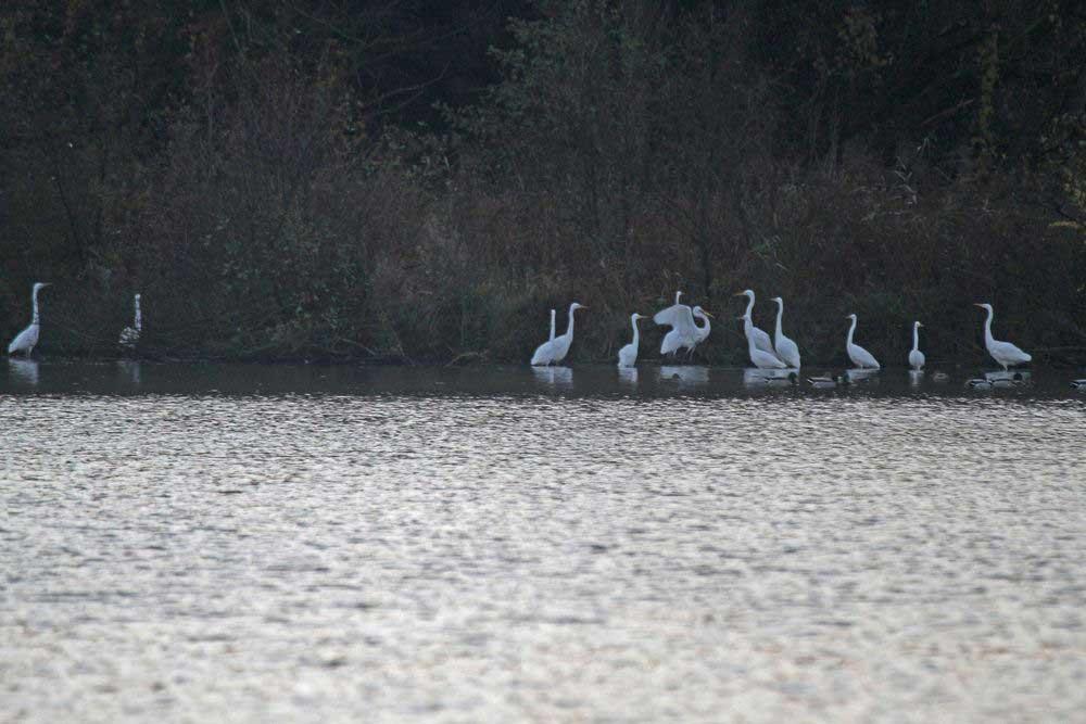 Im seichten Wasser am Ufer steht eine Gruppe Silberreiher am 01.11.11 Foto: Gregor Zosel