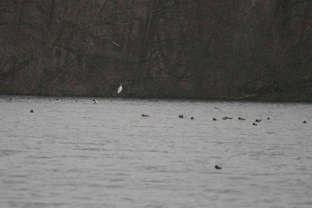 Silberreiher, Gänsesäger und Enten auf Ententeich bei Menden am 06.02.2011 Foto: Gregor Zosel