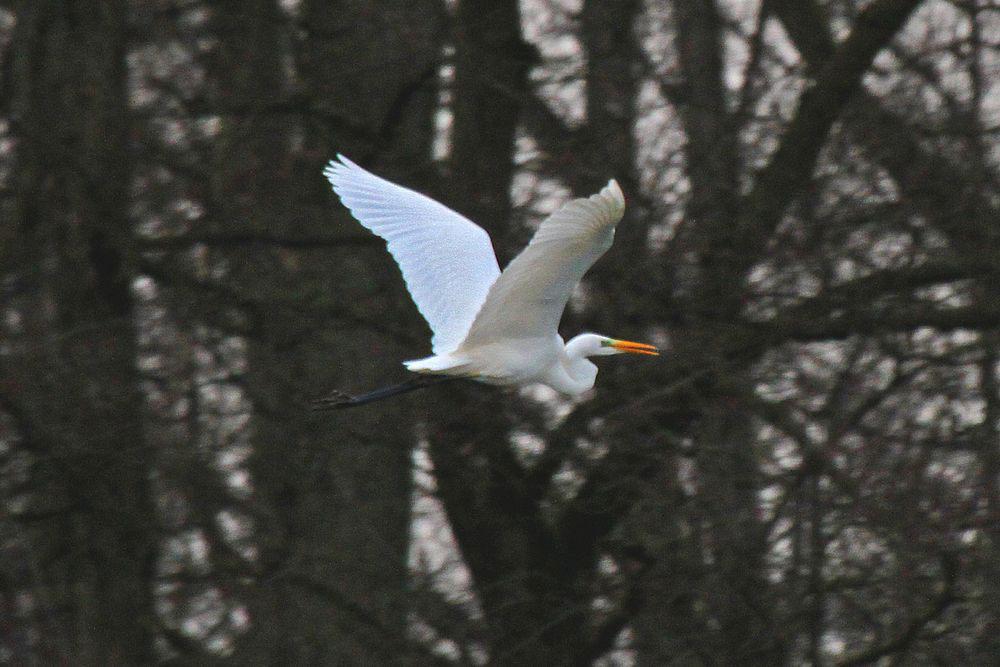 Silberreiher fliegt an der Ruhr im NSG Kiebitzwiese entlang ins ruhigere Jagdgebiet in der Sperrzone der Kiebitzwiese am 19.12.11 Foto: Gregor Zosel
