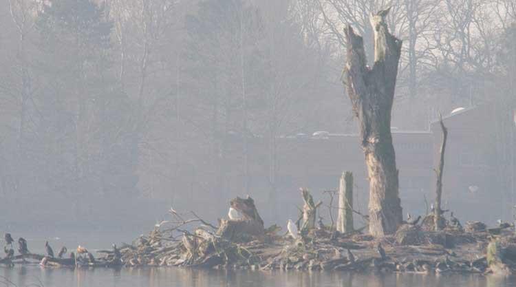 Silberreiher und Kormorane am Geiseckesee zwischen Holzwickede und Schwerte am 09.02.2011 Foto: Karl Heinz Beck