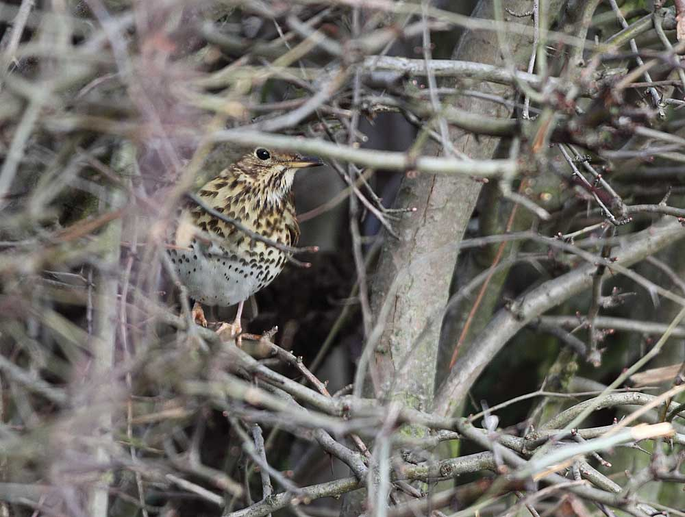 (Meine erste) Singdrossel im Schutz einer Weißdornhecke (Frdbg.-Ostbüren).... 15.02.11 Foto: Bernhard Glüer