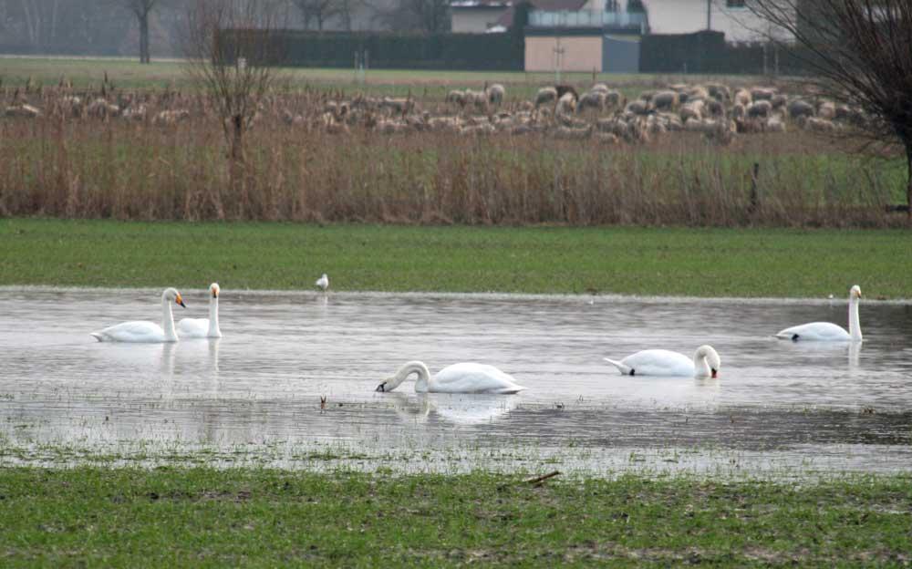 Höcker- und Singschwäne in Lünen-Alstedde am 21.01.2011 Foto: Klaus Ashoff