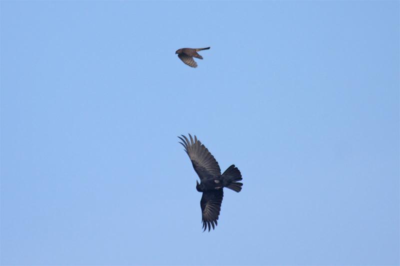 Sperber (diesj. Männchen) und Rabenkrähe rangeln in der Luft. Foto: Hermann Knüwer