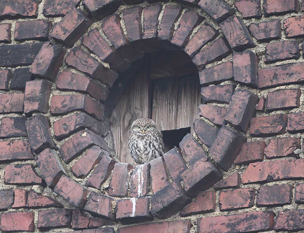 Steinkauz vor einem Schleiereulenkasten in Westhemmerde, 07.01.11 Foto: Bernhard Glüer
