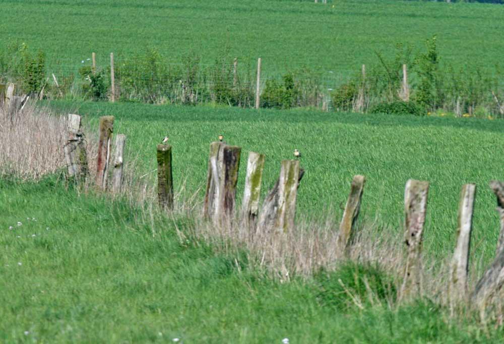 Steinschmätzer auf Zaun in den Hemmerder Wiesen am 19.04.2011 Foto: Gregor Zosel